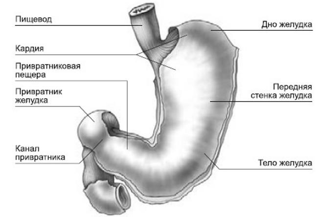 Анатомия пищеварительного органа