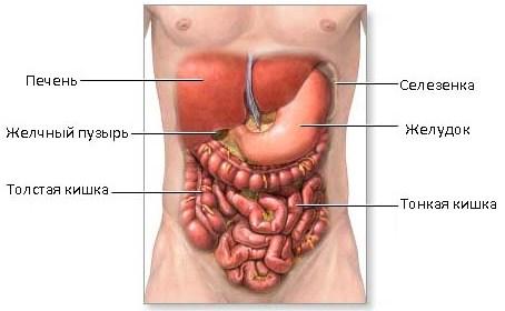 Функция селезенки в организме человека – какую роль она играет?