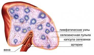 Болезни селезенки: симптомы и методы лечения