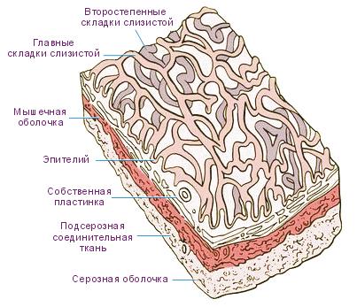 Анатомия стенок органа