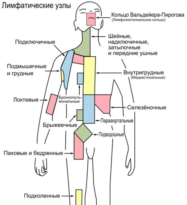 Лимфатические узлы в брюшной полсоти