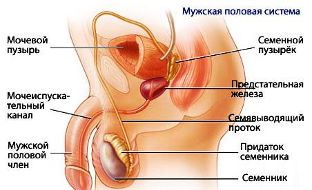 найти и посматрить обрезной мужской половой орган самый большой