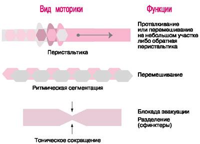 Моторика органа