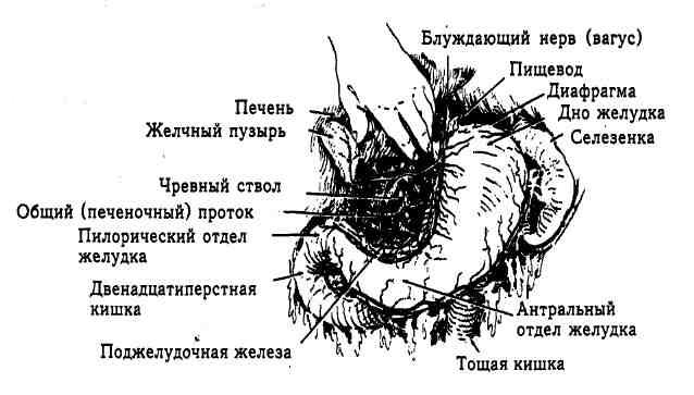 Схема отделов желудка
