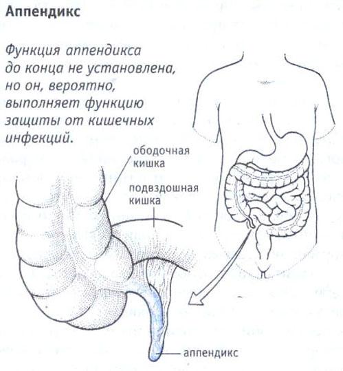 Функции аппендикса