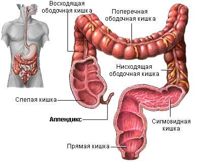 Толстая кишка и ее отделы