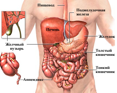 Строение брюшной полости