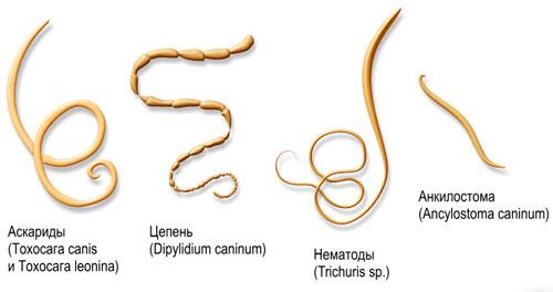 Распространенные разновидности червей