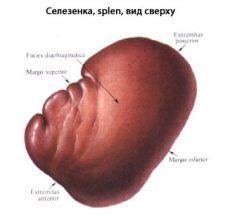 Таинственный орган — за что отвечает селезенка?