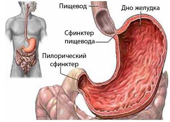 Желудок человека