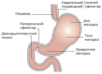 Желудочные отделы