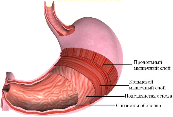 Мышечные слои пищеварительного органа