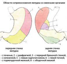 Каков объем желудка у взрослого и новорожденного?