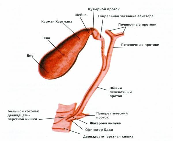 Функции желчного пузыря в организме человека – за что отвечает?