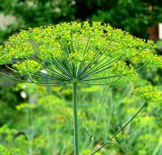 Полезные травы при гастрите желудка
