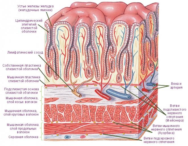 Как восстановить слизистую желудка народными средствами и препаратами?