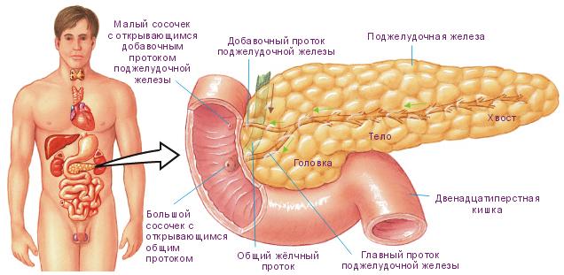 УЗИ поджелудочной железы: подготовка, расшифровка, что показывает?