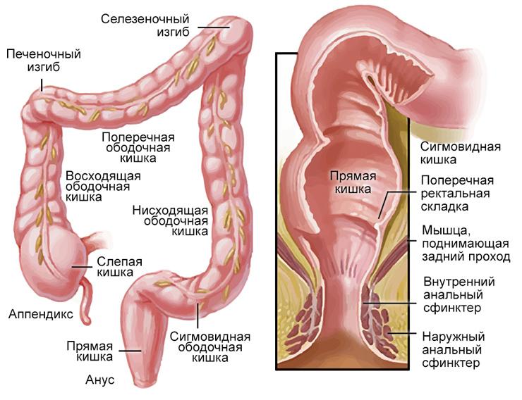 Анатомия прямого отдела кишечника
