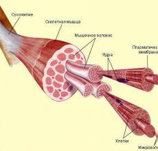Патологии пищеварения — мышечные волокна в кале
