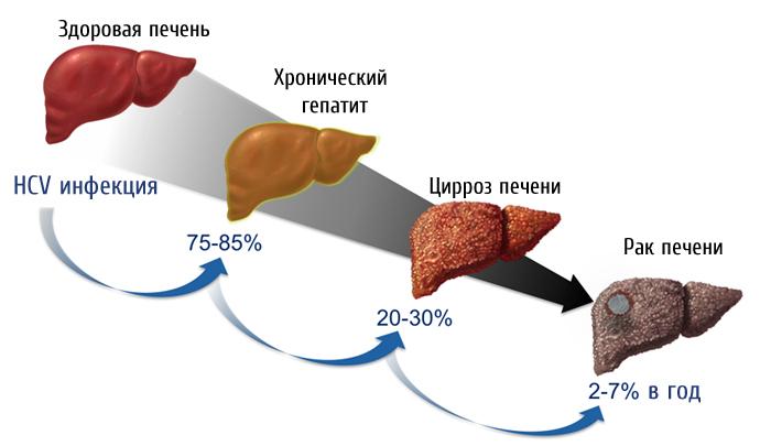 Печень и желудок человека