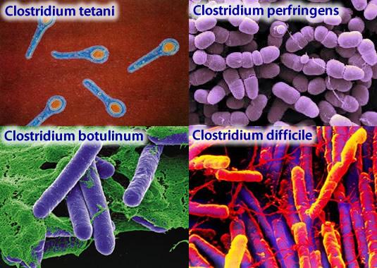 Бактерия клостридия