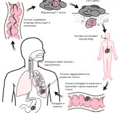 Способы распространения паразитов — как можно заразиться аскаридами?