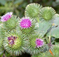 Какие травы полезны для печени и поджелудочной?
