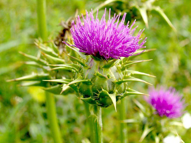 Цветок Расторопши