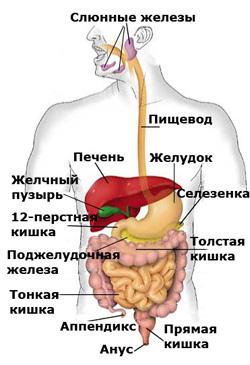 Пищевой тракт