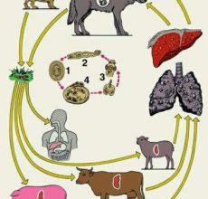 Разновидности паразитов в печени