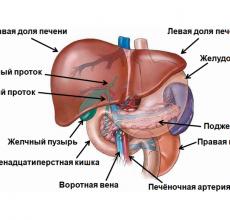 Строение и функции печени в организме человека