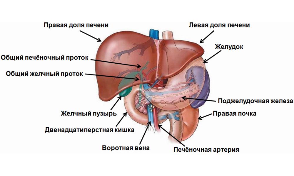 Показания к прерыванию беременности при гепатите