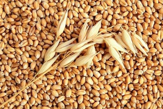 Зерна овса